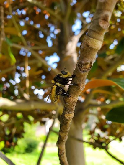 Possible Bumble bee type ? - Mallophora fautrix