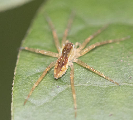 small spidering? 6-spotted Fishing spider?