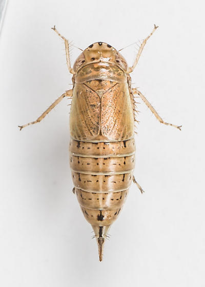 Leafhopper - Doratura stylata - female