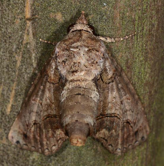 Paectes pygmaea - Pygmy Paectes - Paectes pygmaea