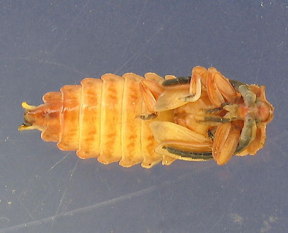 Lycid pupa, getting colorful! - Lycus sanguineus