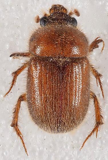 Ochodaeidae