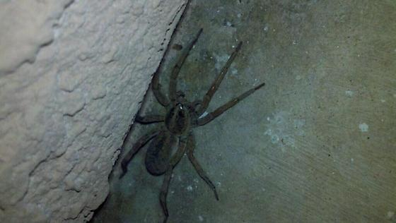 Spider in North Las Vegas, NV - Hogna antelucana