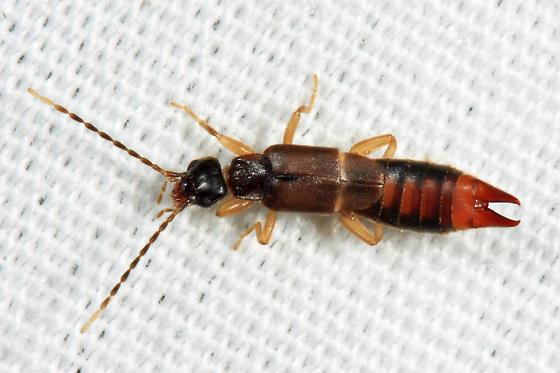 Small Earwig Labia Minor