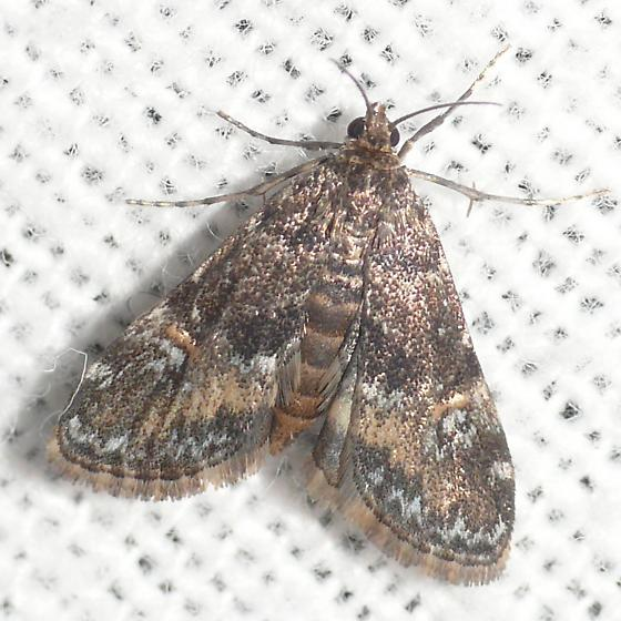 Moth 09.08.05 (1-1) - Elophila obliteralis