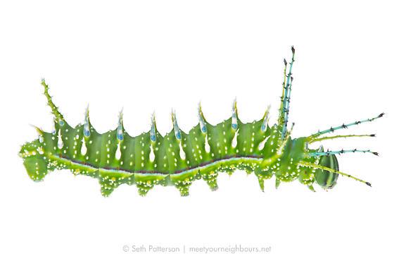 Sphingicampa albolineata - Syssphinx albolineata