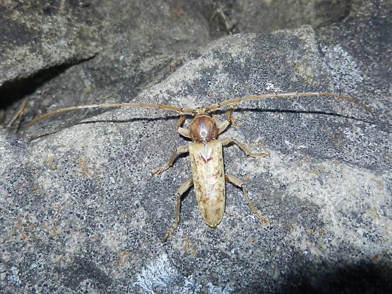 Cerambycidae - Enaphalodes rufulus