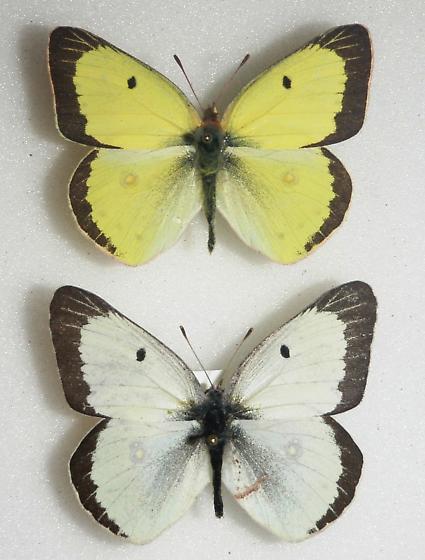 White Form MALE Colias philodice - Colias philodice - male