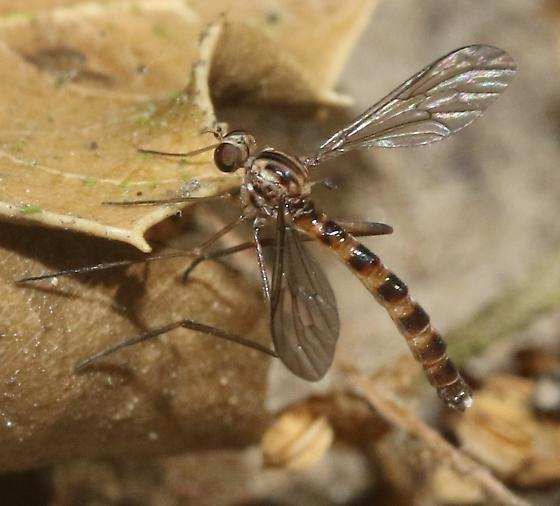 Woodland fly - Vermileo