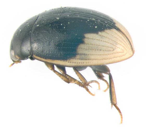Hydrolphilidae, lateral - Cercyon praetextatus