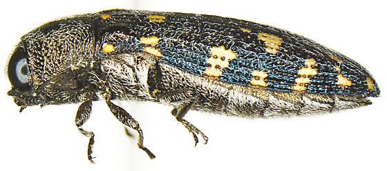 Acmaeodera pinalorum Knull - Acmaeodera pinalorum - female