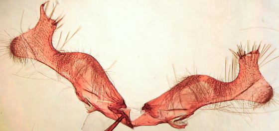 Gretchena bolliana - male