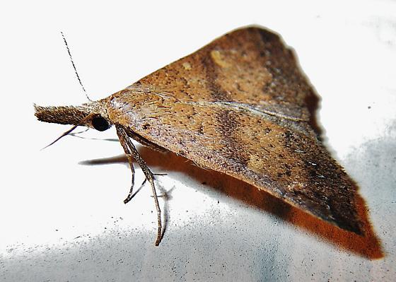 Renia species? - Renia salusalis - female