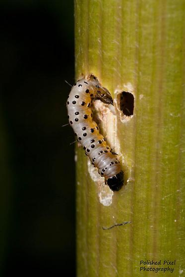 Larva emerging from the stem of Heracleum maximum and feeding. - Depressaria radiella