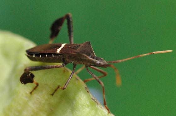 Leptoglossus phyllopus  - Leptoglossus phyllopus