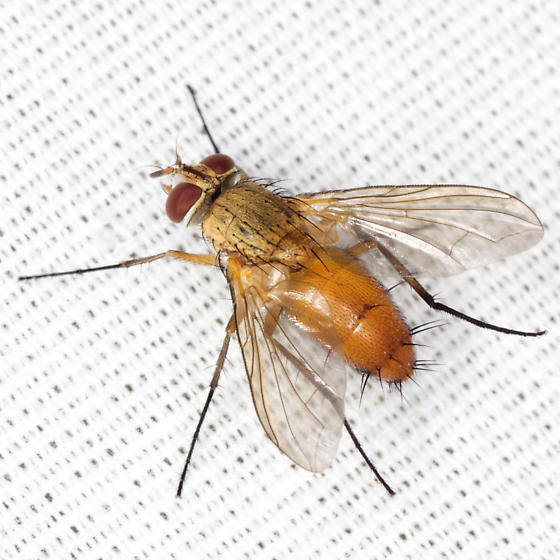 Big Fly - Leskia - female