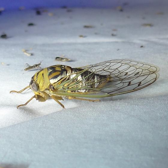 Cicada ID Request - Megatibicen resh
