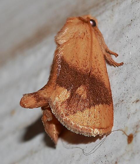Moth - Apoda y-inversum