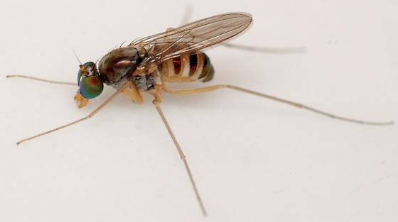 long-legged fly - Dactylomyia lateralis - female