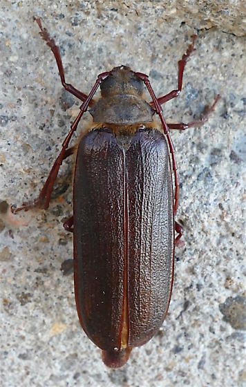 Tragosoma harrisii - female