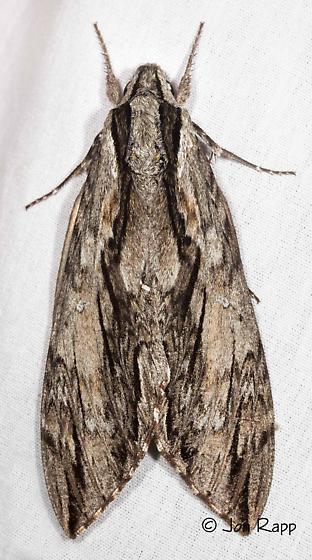 Istar Sphnix - Lintneria istar