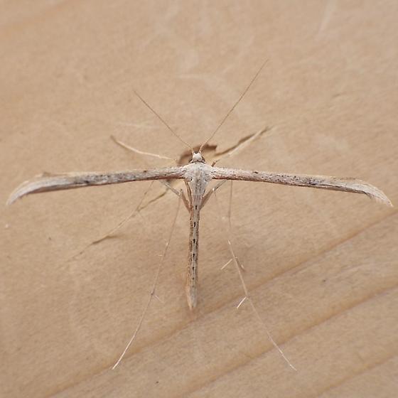 Pterophoridae: Emmelina monodactyla?  - Emmelina
