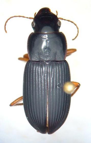 Harpalus compar - female