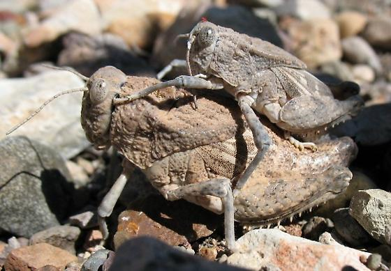 mating Robust Toad Lubbers - Phrynotettix robustus - male - female