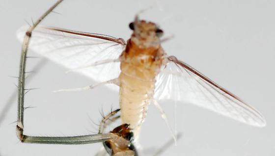small squaregilled mayfly - Caenis