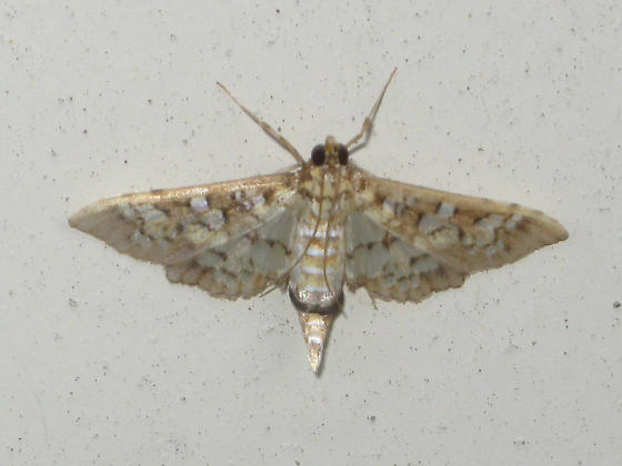 Moth # 1 ID, if possible - Samea ecclesialis