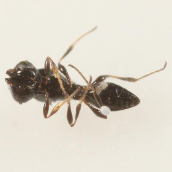 Platygastrid ex Chenopodium - Platygaster