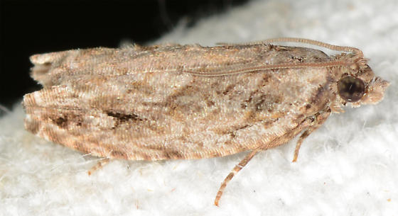 Gretchena bolliana - Pecan Bud Moth - Gretchena bolliana