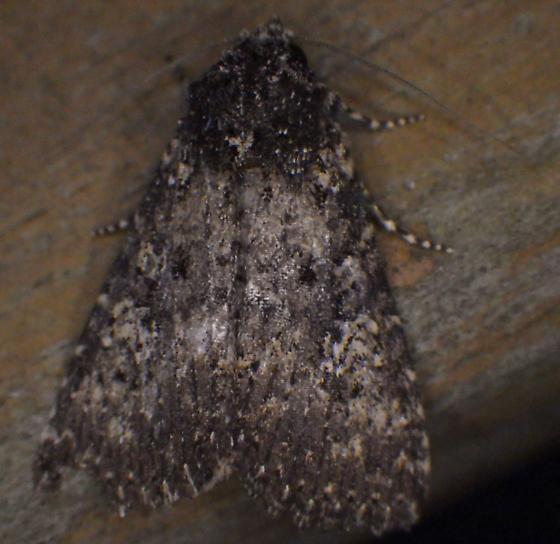 Moth attracted to blacklight - Condica concisa