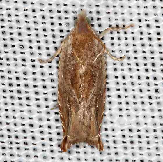 moth - Ancylis