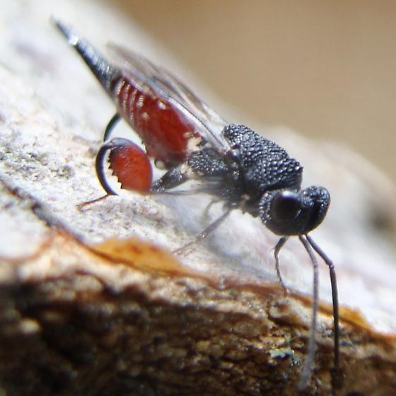Chalcid Wasp - Phasgonophora sulcata - female
