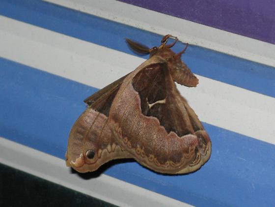 Promethea Moth - Callosamia angulifera