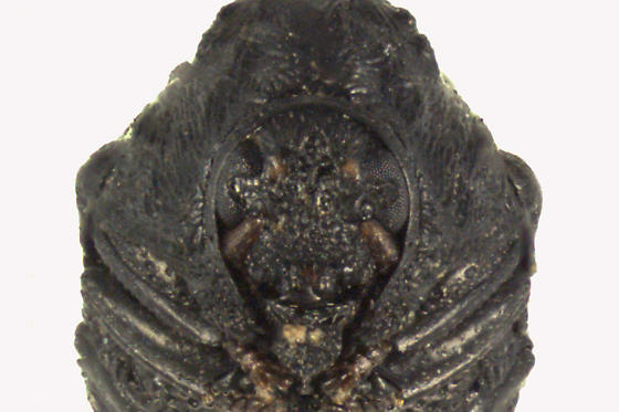 Warty Leaf Beetle - Exema canadensis