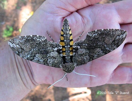 Mystery Sphinx moth2 - Manduca sexta