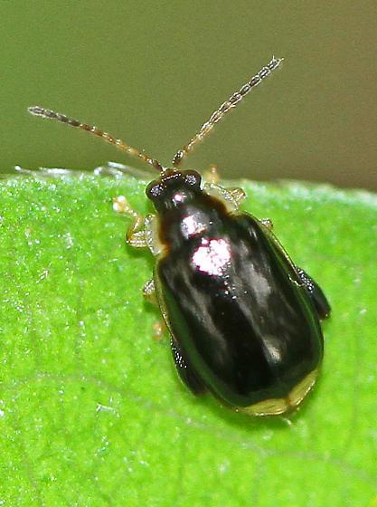 Leaf Beetle? - Capraita obsidiana