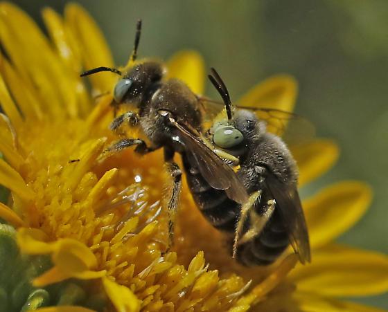 Calliopsis sp? - Calliopsis - male - female