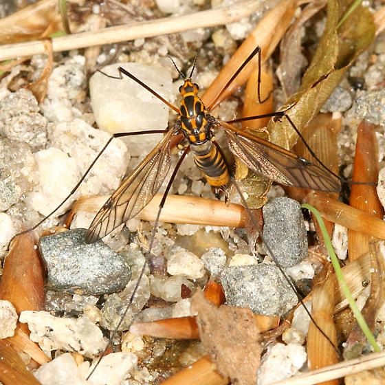 Crane Fly laying eggs in the sand - Nephrotoma pedunculata - female