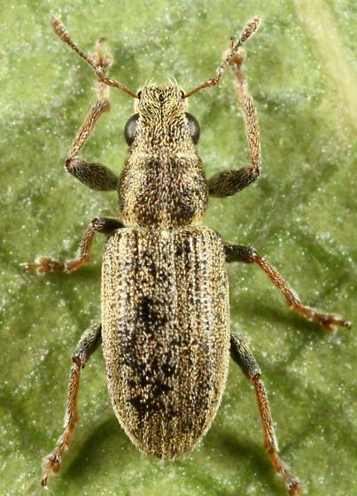 Weevil - Sitona lineatus