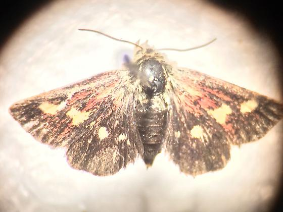 unknown moth - Microhelia angelica