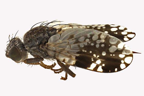 Fruit fly - Tephritis pura