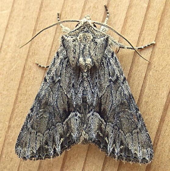 Noctuidae: Apamea spaldingi - Apamea cinefacta