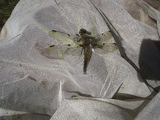 4-spotted skimmer - Libellula quadrimaculata - male