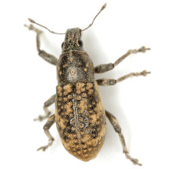 Epicaerus mexicanus Boheman - Epicaerus mexicanus