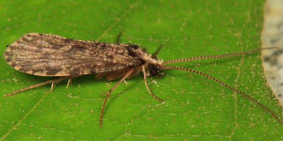 Caddisfly - Plectrocnemia crassicornis
