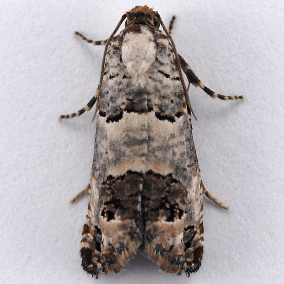 Unknown moth - Pelochrista eburata