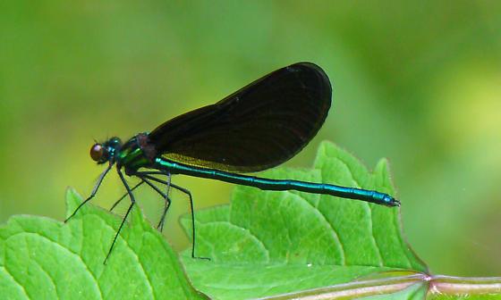 Ebony Jewelwing Damselfly  (Calopteryx maculata) - Calopteryx maculata